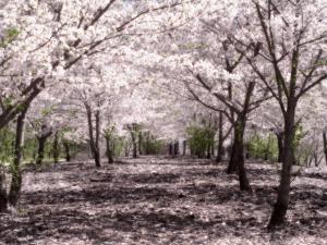 SakuraHealed